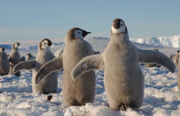 Filhotes de pinguim imperador na Antártica. O futuro do continente é decisivo para eles e para nós também (Foto: Hannes Grobe/AW)