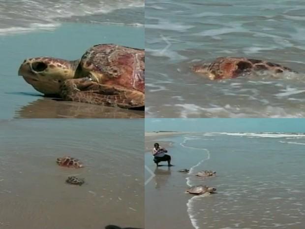 Animais foram encontrados após temporal no fim de semana. Elas passam por tratamento e, em duas semanas, devem voltar ao mar