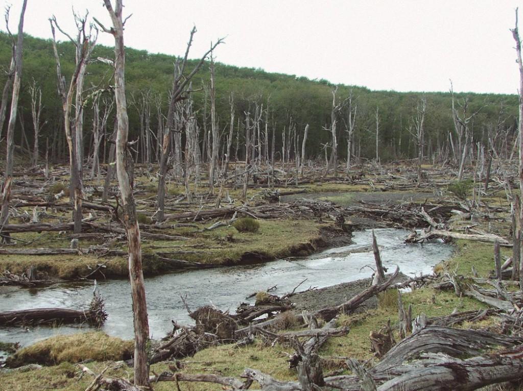 Bosque destruído pelos castores MARÍA FERNANDA MENVIELLE