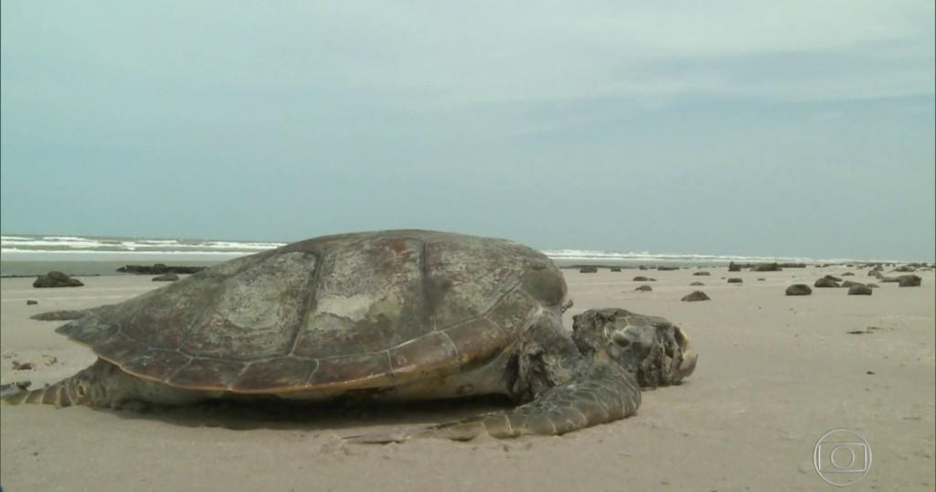 Tartarugas marinhas têm problemas para voltar ao mar no Maranhão