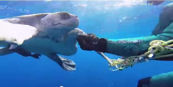 De acordo com o World Wildlife Fund, a pesca é uma das maiores ameaças às tartarugas marinhas e a maioria das espécies estão em extinção.