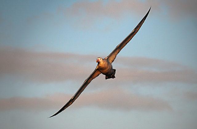O fantástico Albatroz errante, a maior ave do mundo em envergadura